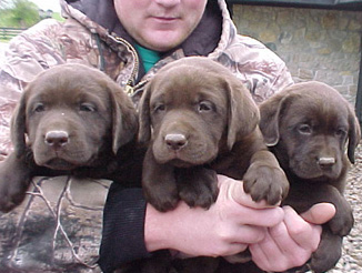 Labrador puppies for sale south carolina