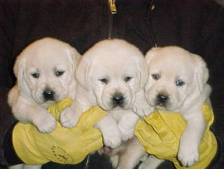 Lab puppies for sale in beaumont texas